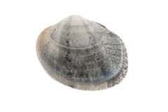 A gray clam Royalty Free Stock Photos