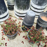 Gray clay pots and decorative red clover Royalty Free Stock Image