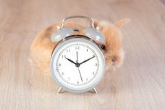 Gray clock and shy rabbit on wooden a background Royalty Free Stock Photography