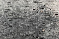 GRAY CLOSEUP OF WOOD WITH WORM HOLES AND NAILS. A closeup ot a piece of slab of wood shows the holes made by worms and the grain of the wood. Two nail heads peek royalty free stock photo