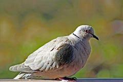 Gray Collard Dove observador no nanômetro foto de stock royalty free