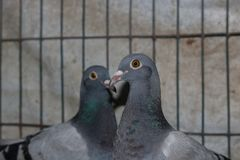 Gray color dove in a cage stock photography