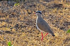 Gray Colored Crowned Lapwing South Afrika stock fotografie