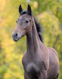 Gray colt Stock Images