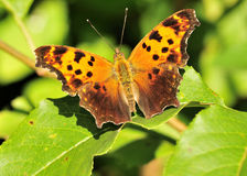Gray Comma Butterfly Stock Images