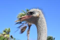 Gray Common Ostrich an einem Schutz in Aruba lizenzfreie stockfotografie