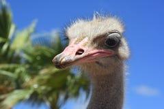 Gray Common Ostrich mit Palmen in Aruba stockfotografie
