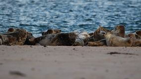 Gray, common seal group lying on snow during a cold winters day in january, scotland. Moray stock footage