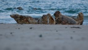 Gray, common seal group lying on snow during a cold winters day in january, scotland. Moray stock video