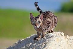Gray Cornish Rex cat. On rock Royalty Free Stock Photo