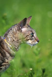 Gray Cornish Rex cat. In green grass Stock Photos