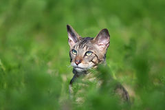 Gray Cornish Rex cat. In green grass Stock Images