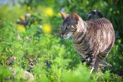 Gray Cornish Rex cat. In green grass Stock Photo