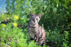 Gray Cornish Rex cat. In green grass Royalty Free Stock Photos