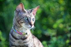 Gray Cornish Rex cat. In green grass Royalty Free Stock Images