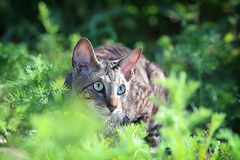 Gray Cornish Rex cat. In green grass Royalty Free Stock Photography