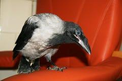 Gray corvid Royalty Free Stock Images
