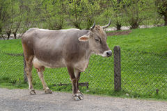 Gray cow costs near a farmhouse Royalty Free Stock Photo