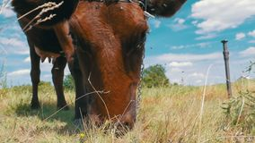 Gray Cow Grazing on Meadow on Sky Background. Slow Motion stock footage