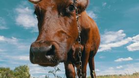 Gray Cow Grazing on Meadow and Smelling the Camera on Sky Background. Slow Motion stock footage