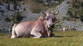 Gray cow lies in a meadow at foot of mountains on the banks of a mountain river stock video