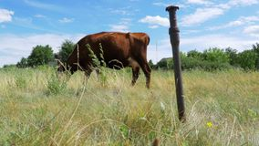 Gray cow tied on a chain grazing in a meadow stock footage
