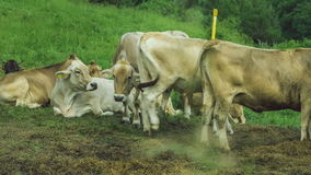 Gray cows rest on brawn ground, green filed on background stock footage