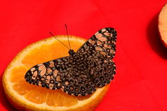 Gray Cracker butterfly Stock Photography