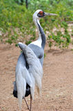 Gray crane Royalty Free Stock Images