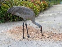 Gray Crane Feeding op Vogelzaad royalty-vrije stock fotografie