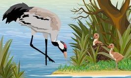 Gray Crane i ett tr?sk eller en sj? med dess f?gelungar i redet dammet ?r ett tr?d med h?gv?xt gr?s Gemensamma kran eller Grusgru vektor illustrationer