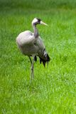 Gray crane looking around in the meadow grass. Shot made in reservation Askania Nova, Ukraine Royalty Free Stock Image