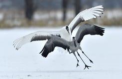 The gray crane runs away from the Japanese crane. Snow white background. Winter season Stock Photography