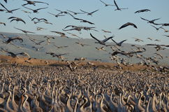 Gray cranes Stock Image