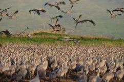 Gray cranes Royalty Free Stock Image