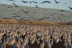 Gray cranes Stock Photo