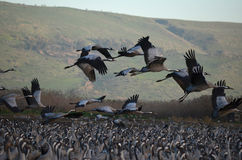 Gray cranes Royalty Free Stock Image