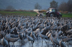 Gray cranes Royalty Free Stock Images