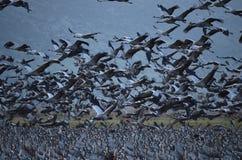 Gray cranes Stock Photography