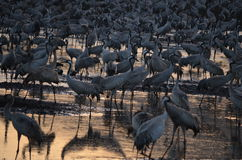 Gray cranes Royalty Free Stock Photo