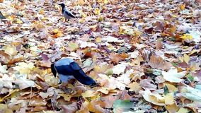 A gray crow on yellow leaves. stock footage