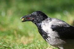 Gray crow Corvus corone cornix holds a nut in the beak, the shape of the tongue of the crow is clearly visible. Gray crow Corvus corone cornix holds a nut in the Royalty Free Stock Images