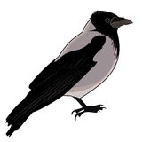 Gray crow Royalty Free Stock Photo
