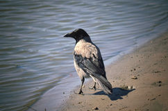 Gray crow near to water Royalty Free Stock Photography