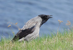 Gray crow near the water Royalty Free Stock Images
