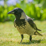 Gray crow. Portrait of a gray crow. Hooded Crow, Corvus cornix is a Eurasian bird species in the crow genus Stock Photos