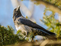 Gray crow Royalty Free Stock Photography
