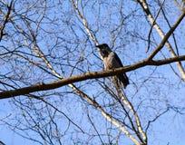 Gray crow Stock Photos