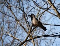 Gray crow Stock Photo