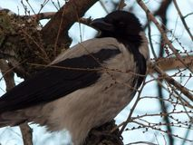 Gray crow sits on a tree branch stock images
